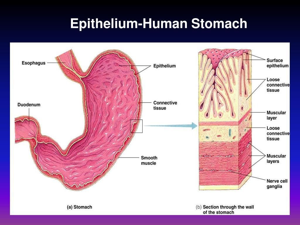 Epithelium-Human Stomach