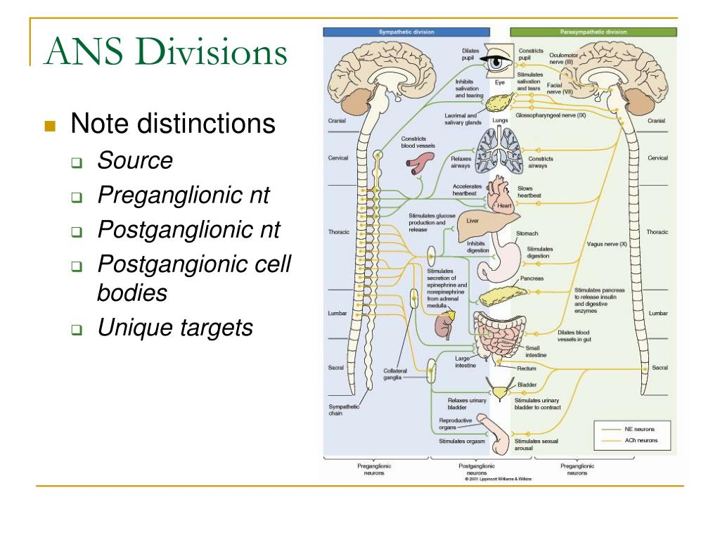 ANS Divisions
