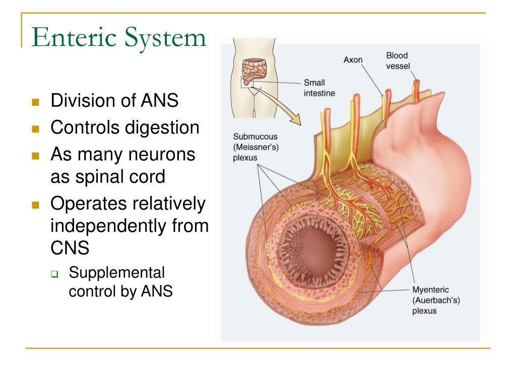 Enteric System
