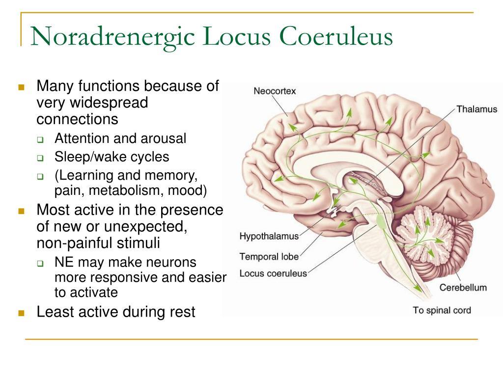 Noradrenergic Locus Coeruleus