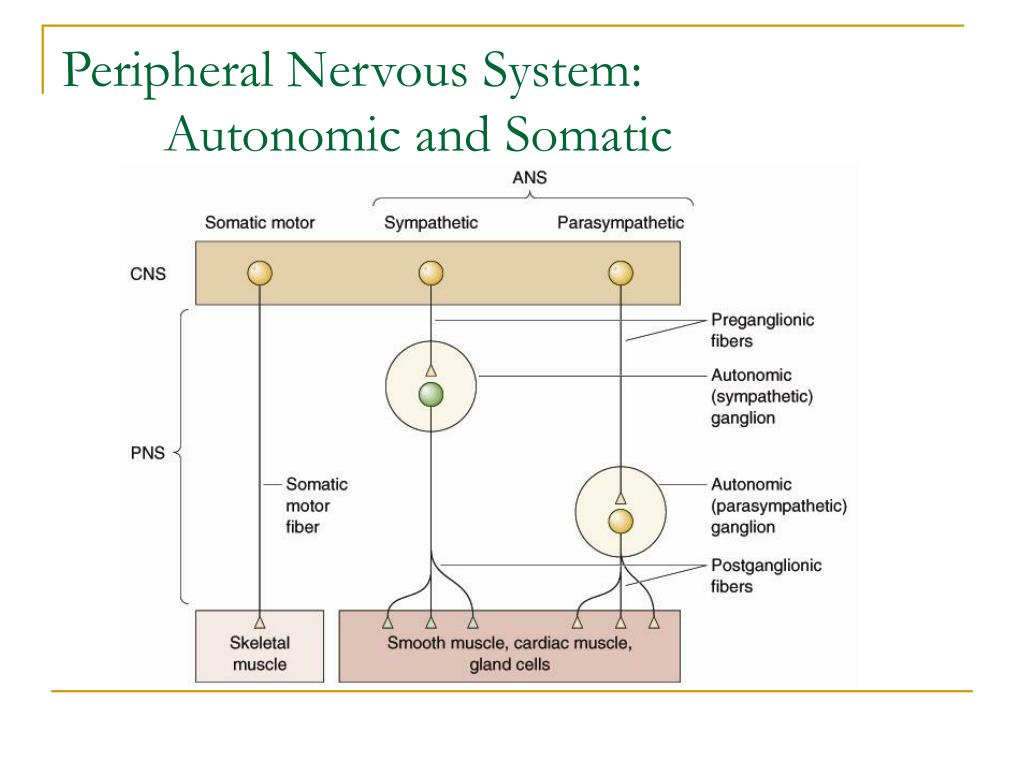 Peripheral Nervous System: