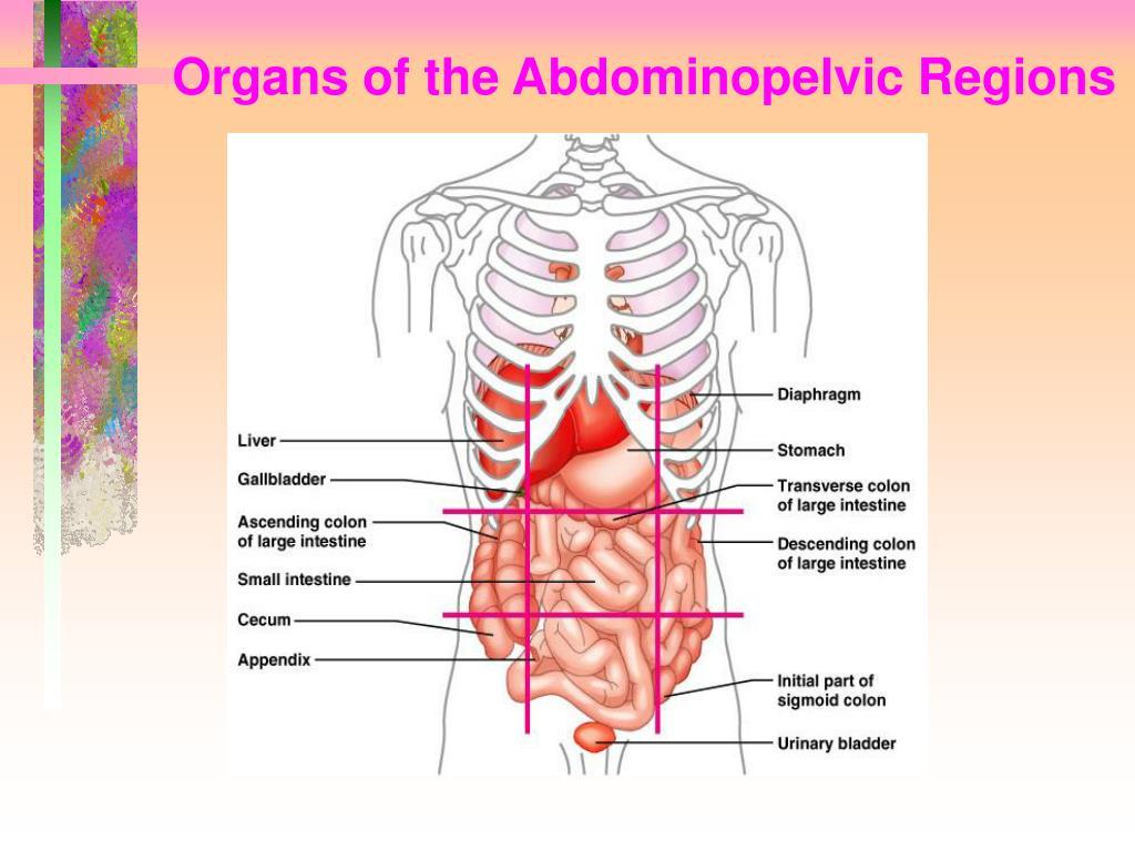 Organs of the Abdominopelvic Regions