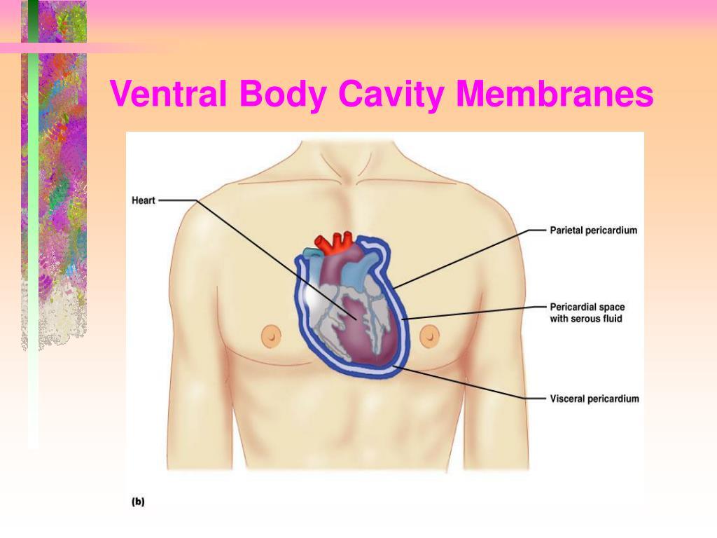 Ventral Body Cavity Membranes