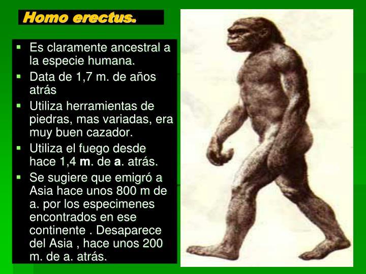Homo erectus.