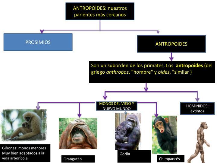 ANTROPOIDES: nuestros parientes más cercanos