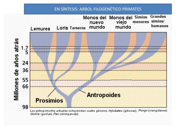 EN SÍNTESIS: ARBOL FILOGENÉTICO PRIMATES
