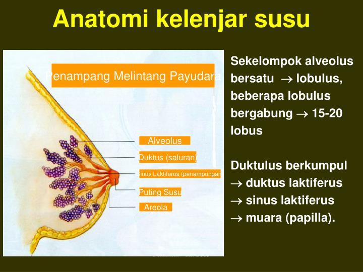 Anatomi kelenjar susu