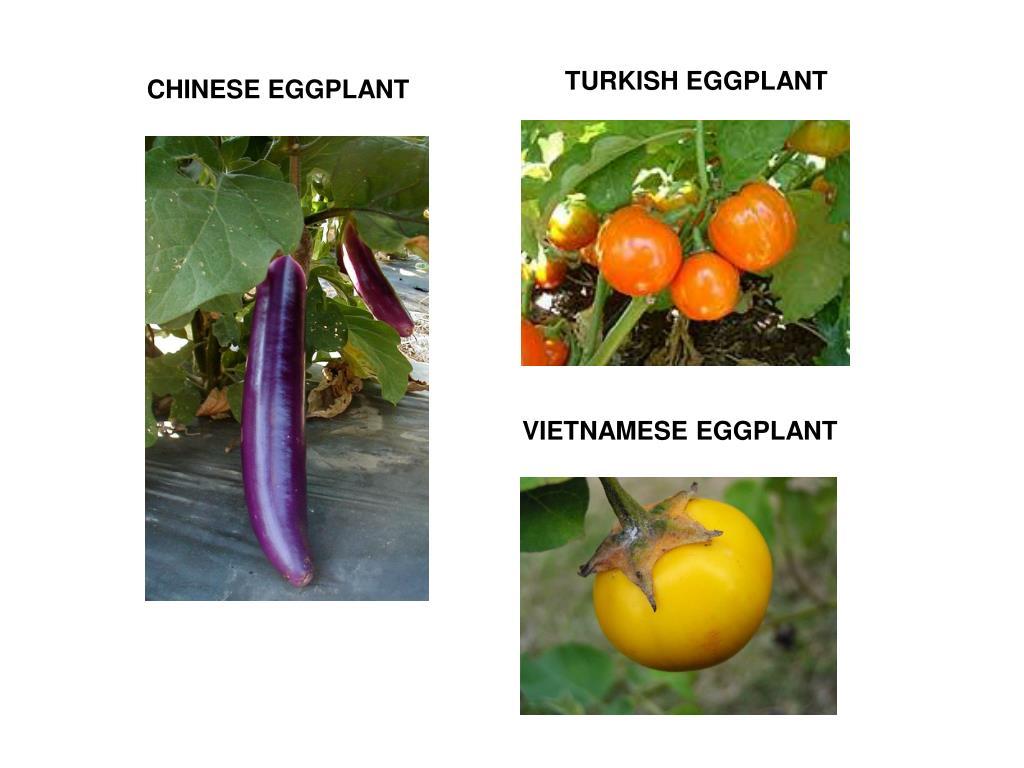 TURKISH EGGPLANT