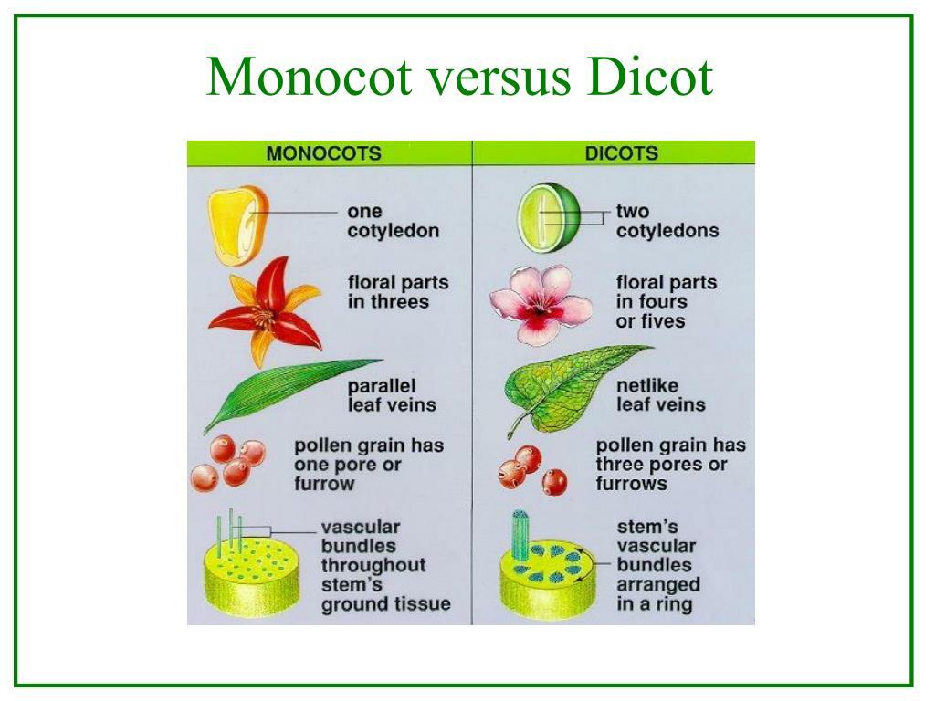 Monocot versus Dicot