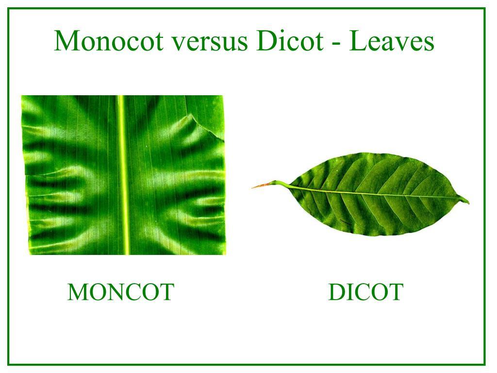 Monocot versus Dicot - Leaves