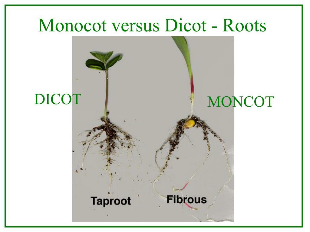 Monocot versus Dicot - Roots
