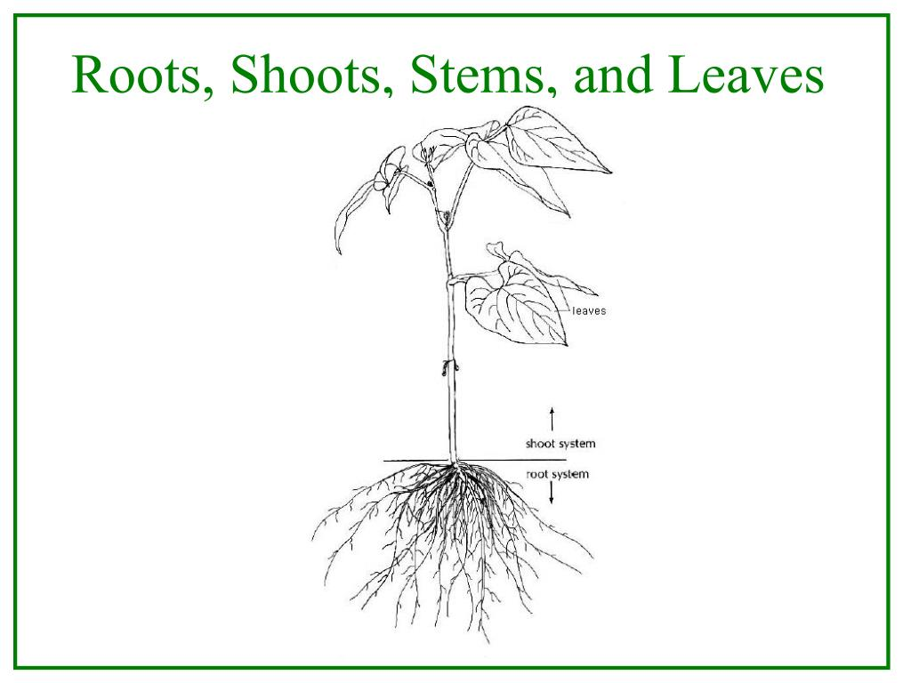 Roots, Shoots, Stems, and Leaves