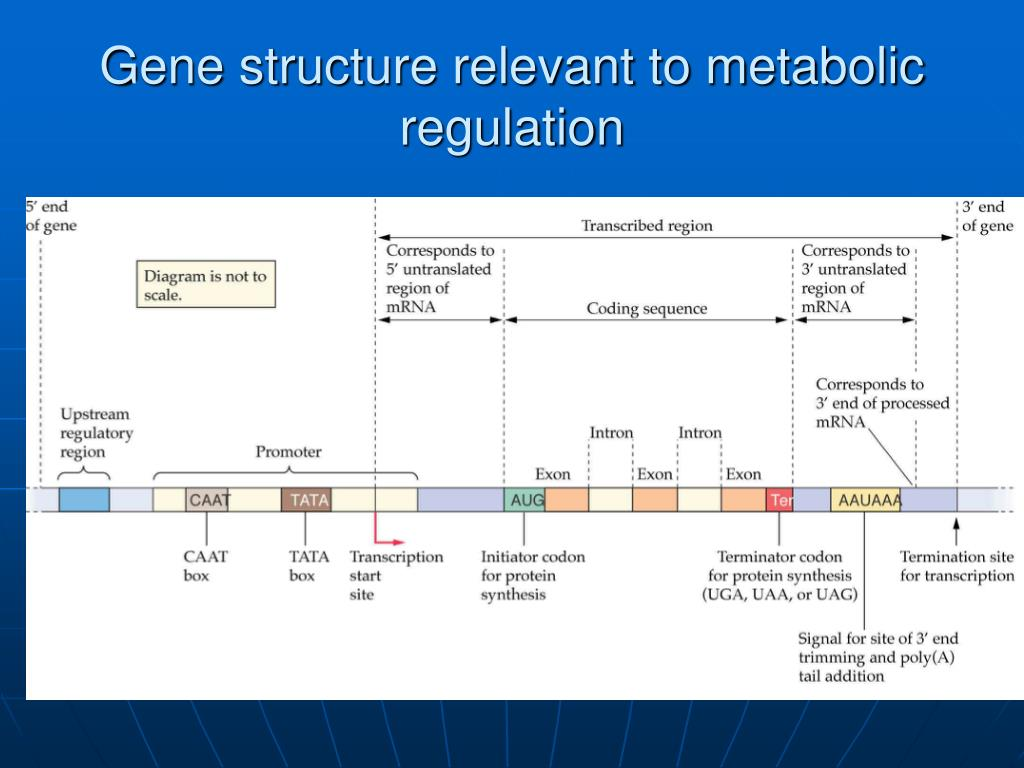 Gene structure relevant to metabolic regulation