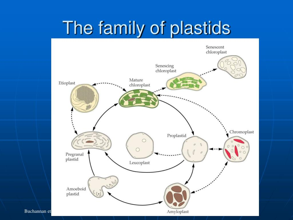 The family of plastids