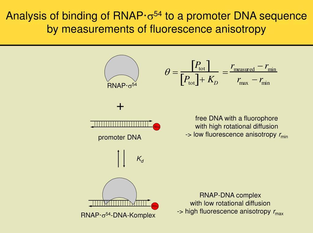 Analysis of binding of RNAP·