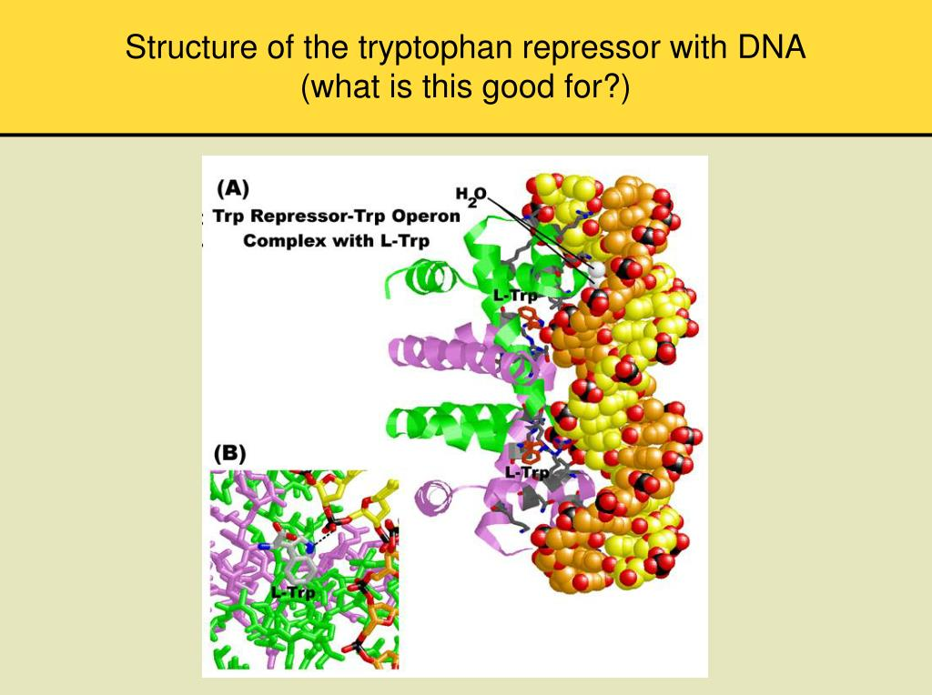 Structure of the tryptophan repressor with DNA