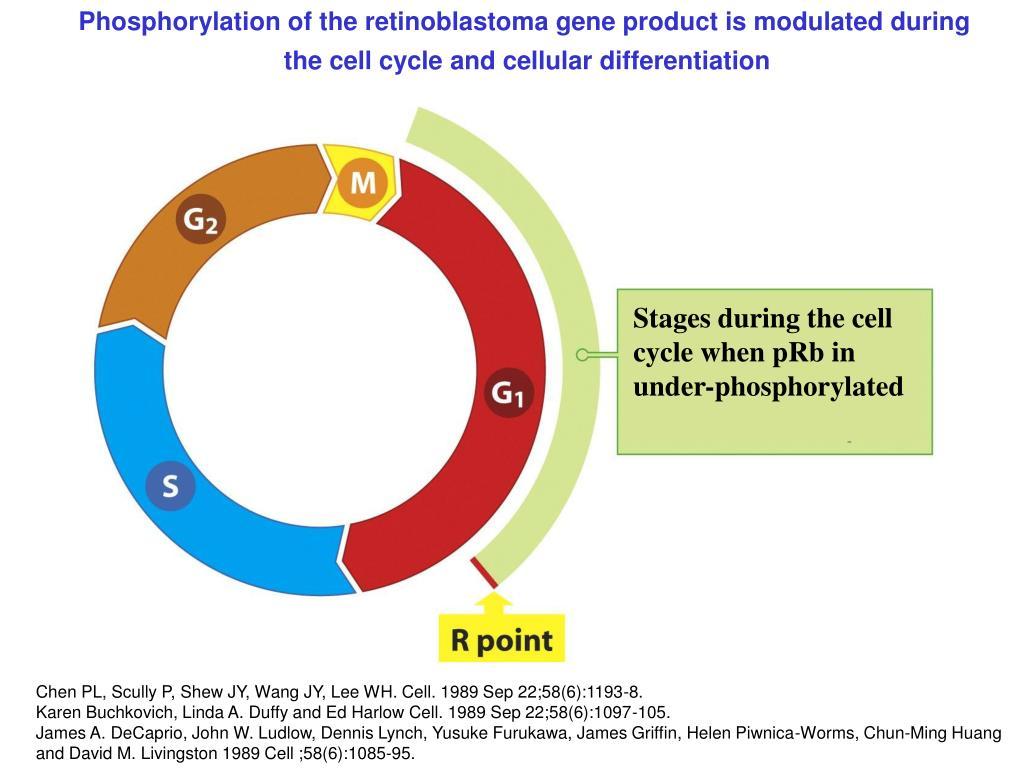 Phosphorylation of the retinoblastoma gene product is modulated during