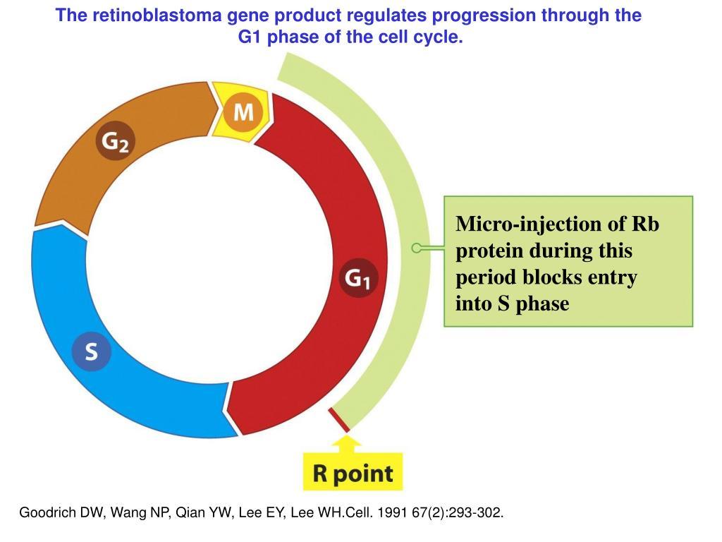 The retinoblastoma gene product regulates progression through the