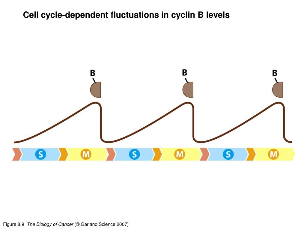 Cell cycle-dependent fluctuations in cyclin B levels