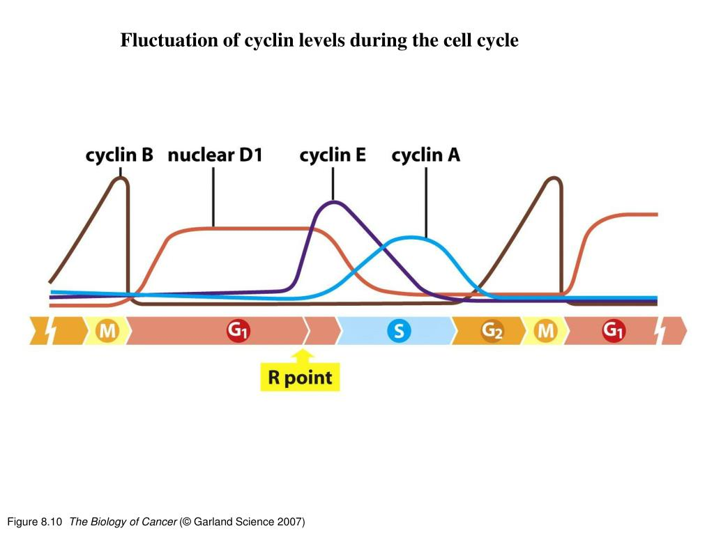 Fluctuation of cyclin levels during the cell cycle