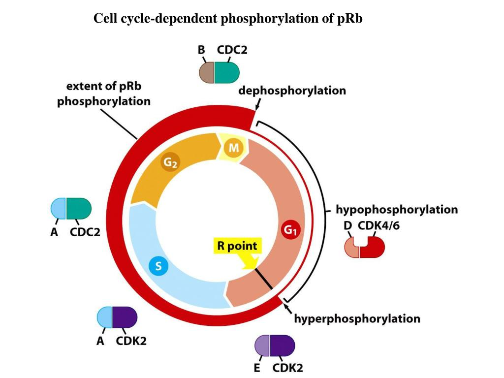Cell cycle-dependent phosphorylation of pRb