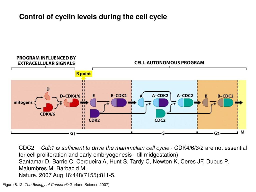 Control of cyclin levels during the cell cycle