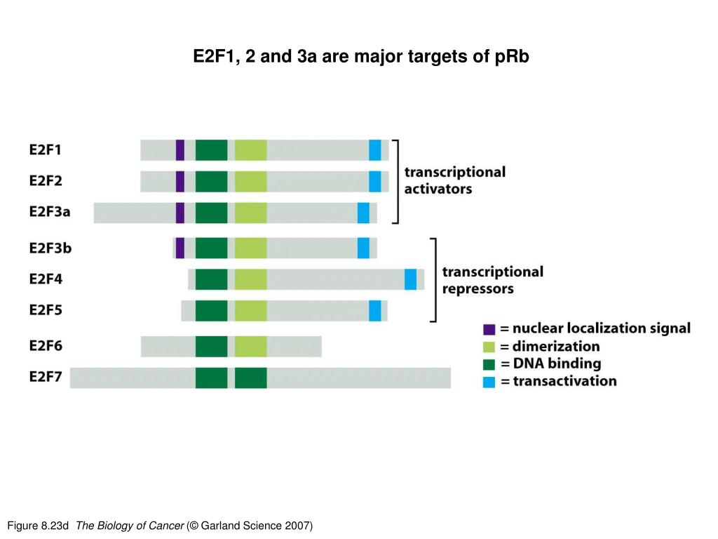 E2F1, 2 and 3a are major targets of pRb