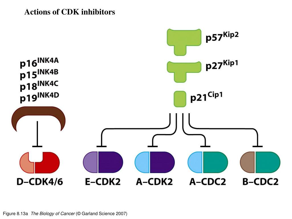 Actions of CDK inhibitors