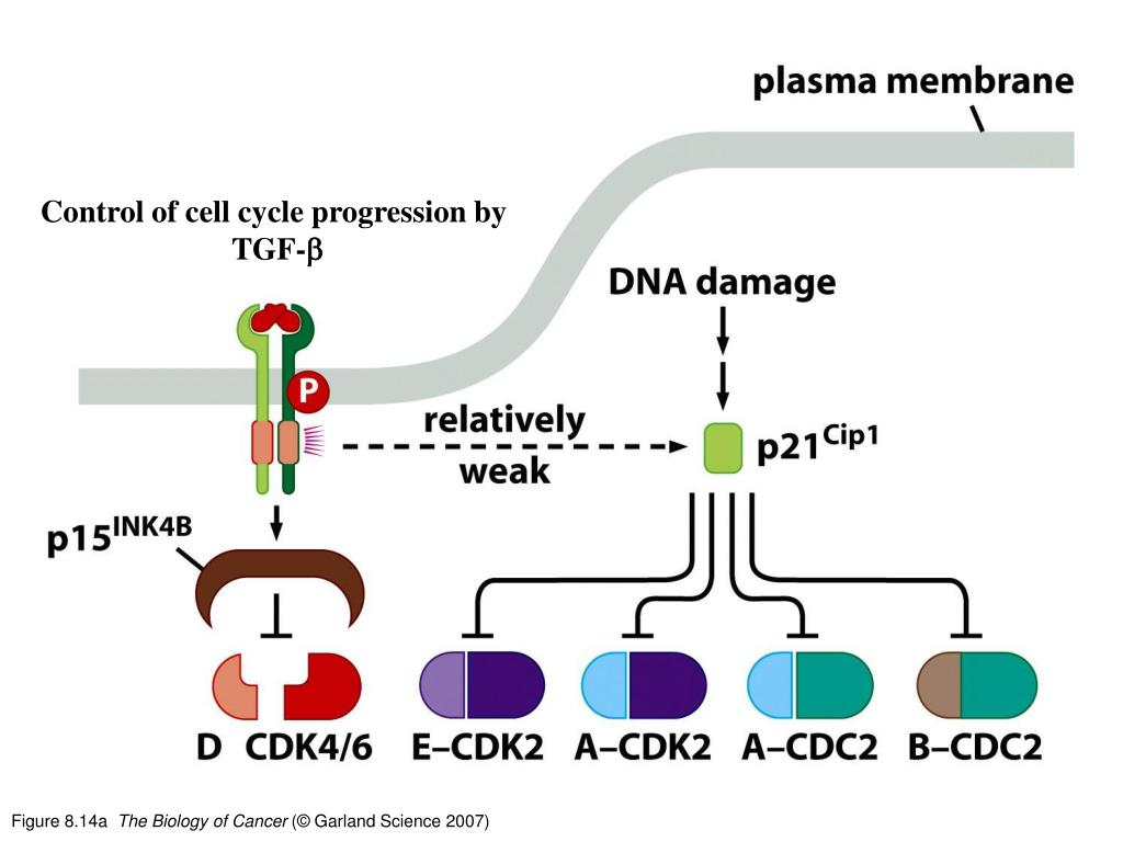 Control of cell cycle progression by