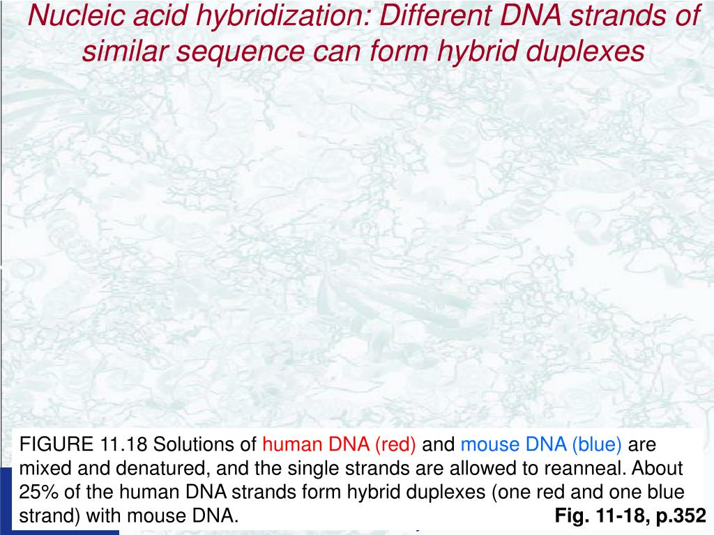 Nucleic acid hybridization: Different DNA strands of similar sequence can form hybrid duplexes