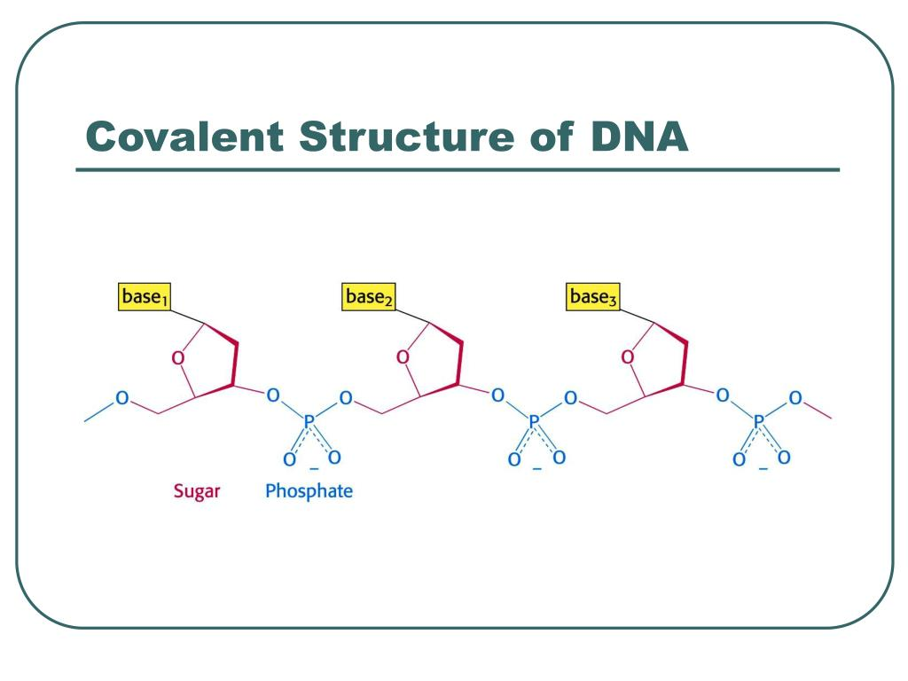 Covalent Structure of DNA