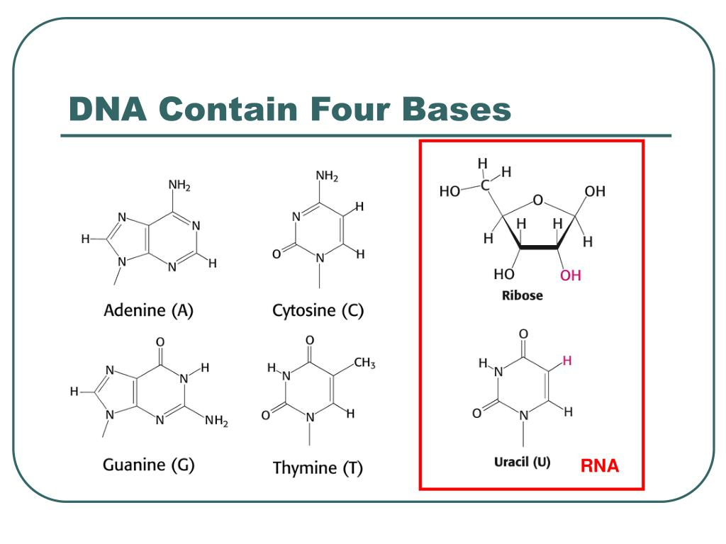 DNA Contain Four Bases