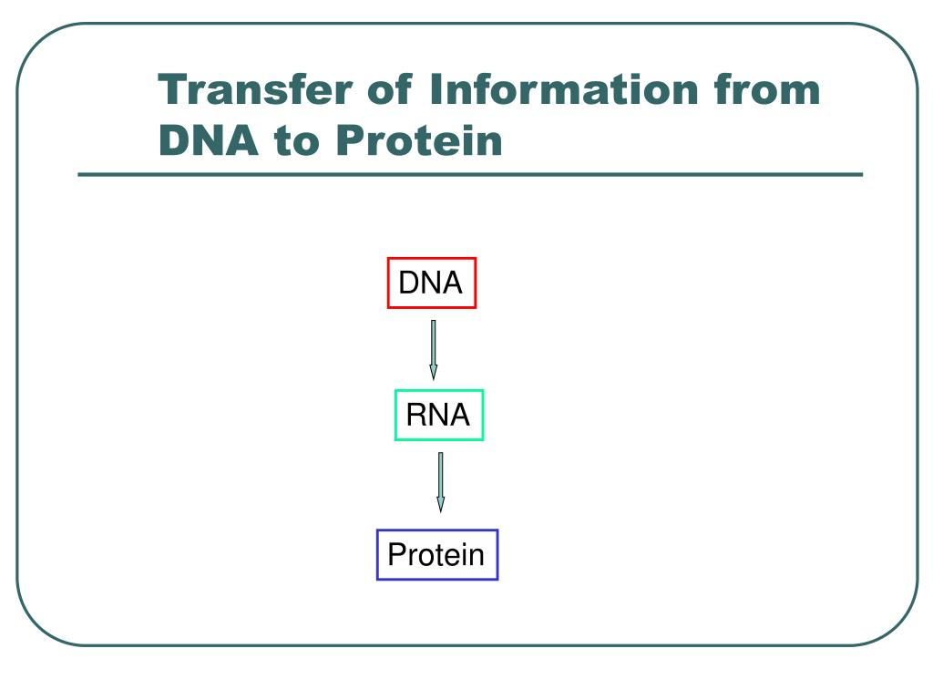 Transfer of Information from DNA to Protein