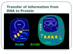 transfer of information from dna to protein27