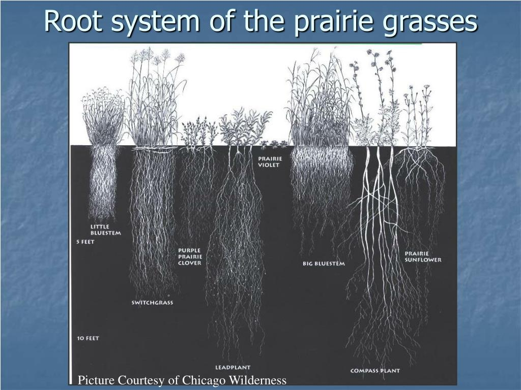 Root system of the prairie grasses
