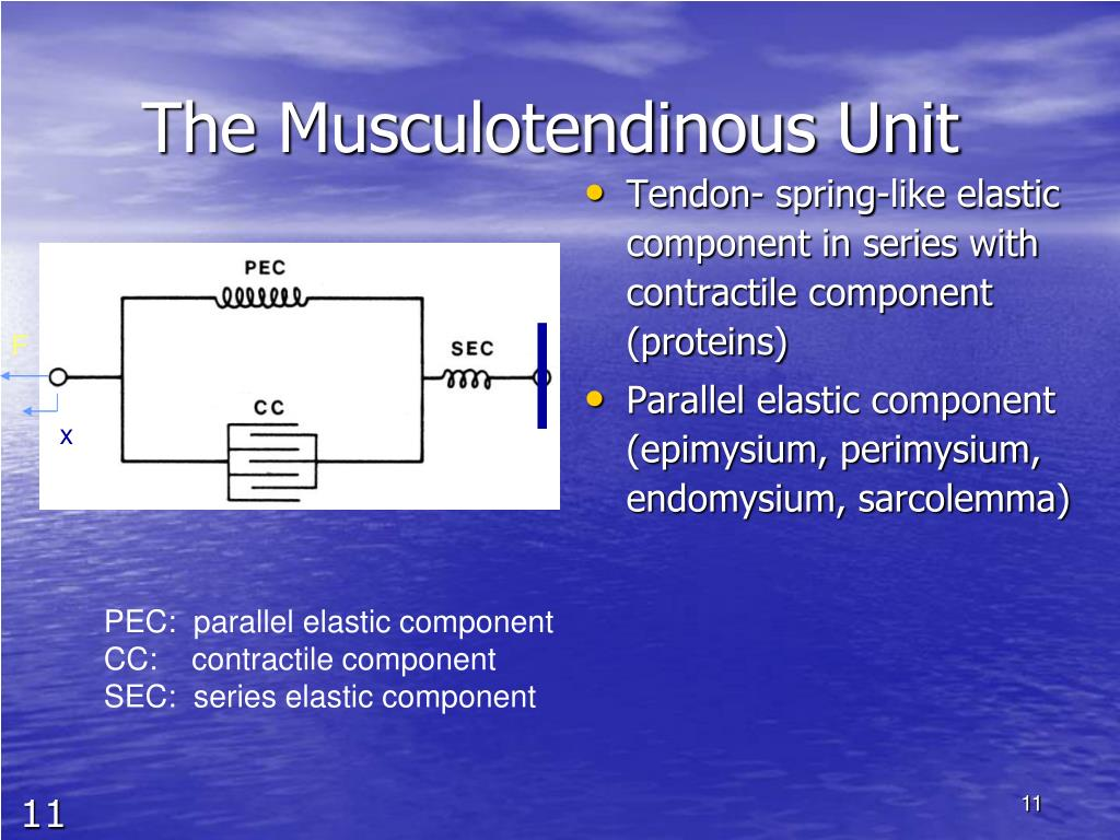 The Musculotendinous Unit