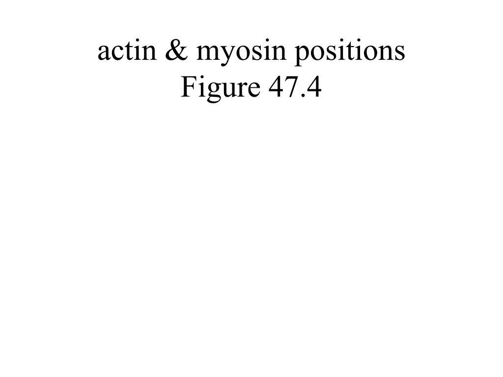actin & myosin positions