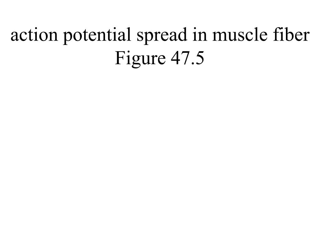 action potential spread in muscle fiber