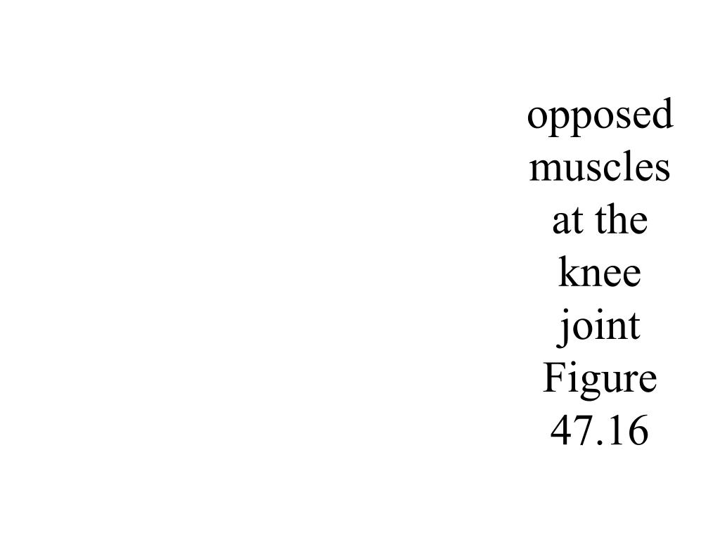 opposed muscles at the knee