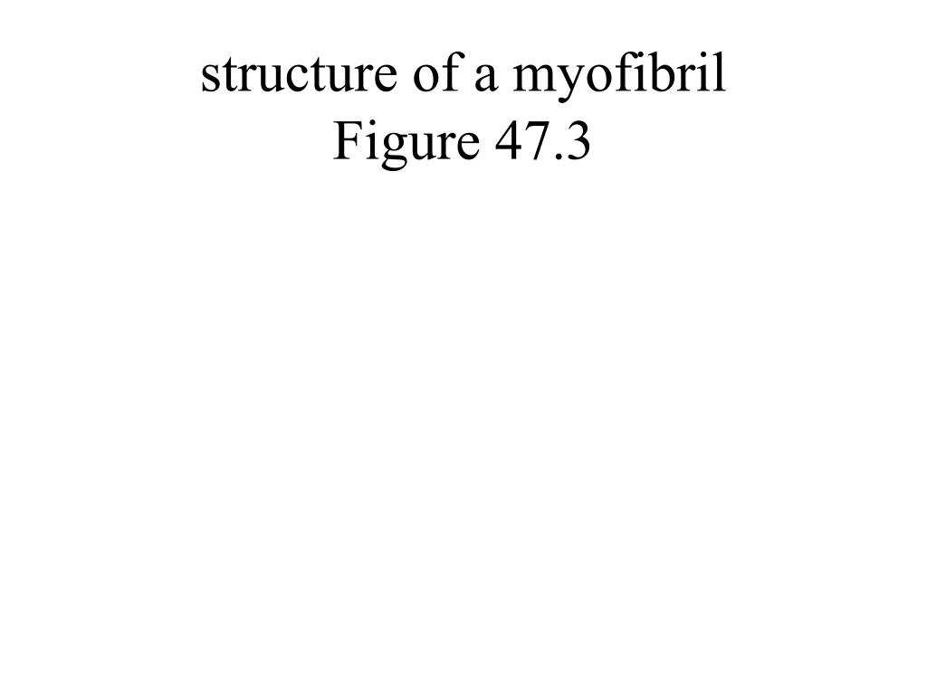 structure of a myofibril
