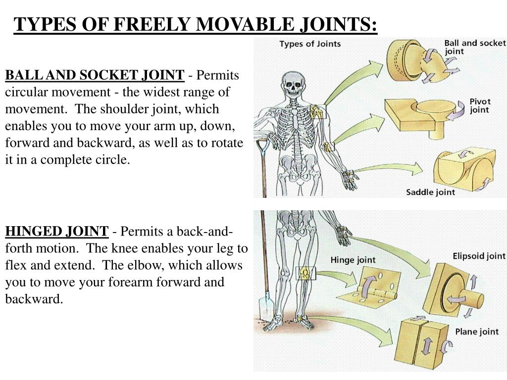 TYPES OF FREELY MOVABLE JOINTS: