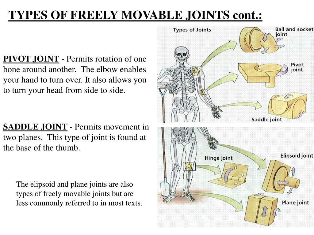 TYPES OF FREELY MOVABLE JOINTS cont.: