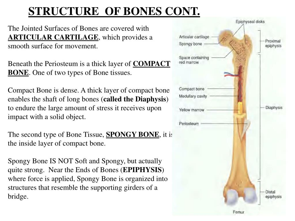 STRUCTURE  OF BONES CONT.
