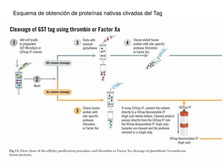 Esquema de obtención de proteínas nativas clivadas del Tag