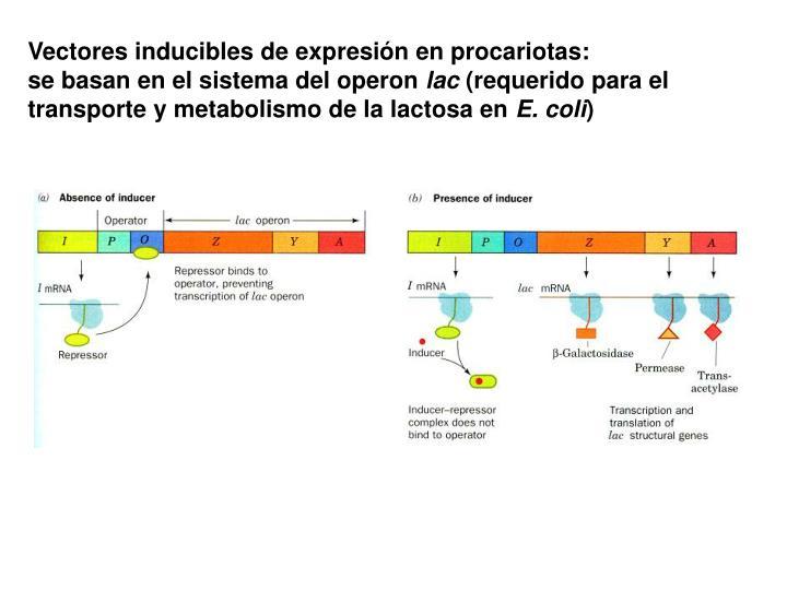 Vectores inducibles de expresión en procariotas: