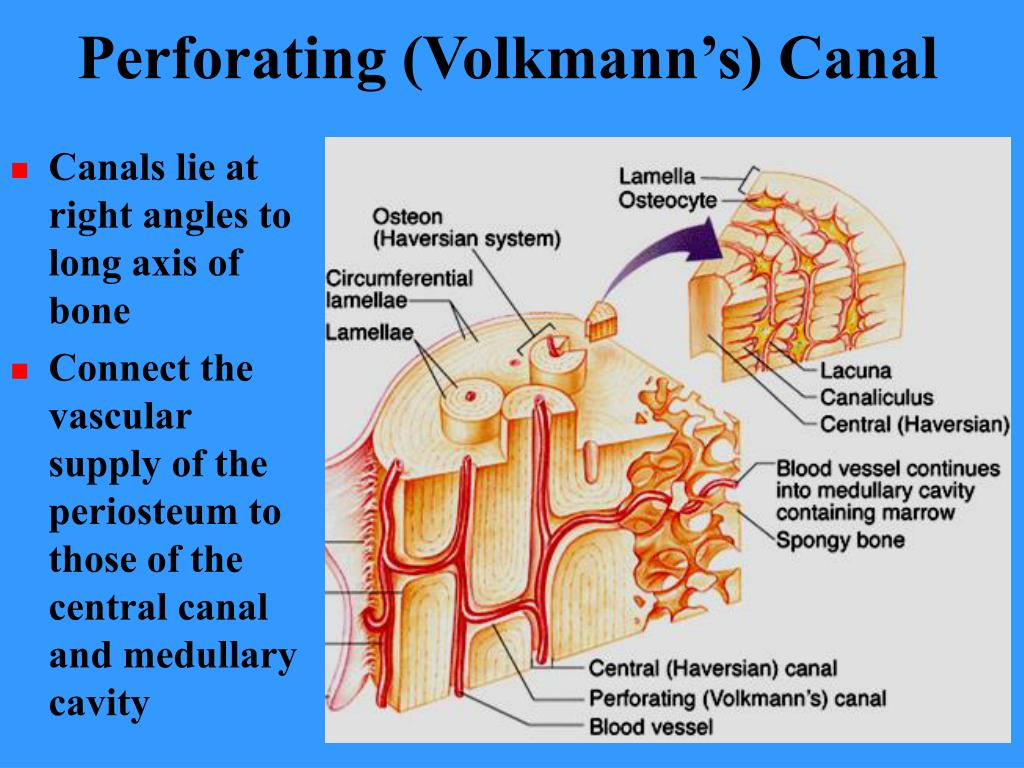 Perforating (Volkmann's) Canal