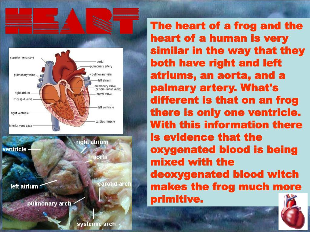 The heart of a frog and the heart of a human is very similar in the way that they both have right and left atriums, an aorta, and a palmary artery. What's different is that on an frog there is only one ventricle. With this information there is evidence that the oxygenated blood is being mixed with the deoxygenated blood witch makes the frog much more primitive.