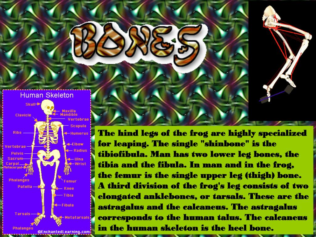 """The hind legs of the frog are highly specialized for leaping. The single """"shinbone"""" is the tibiofibula. Man has two lower leg bones, the tibia and the fibula. In man and in the frog, the femur is the single upper leg (thigh) bone. A third division of the frog's leg consists of two elongated anklebones, or tarsals. These are the astragalus and the calcaneus. The astragalus corresponds to the human talus. The calcaneus in the human skeleton is the heel bone."""
