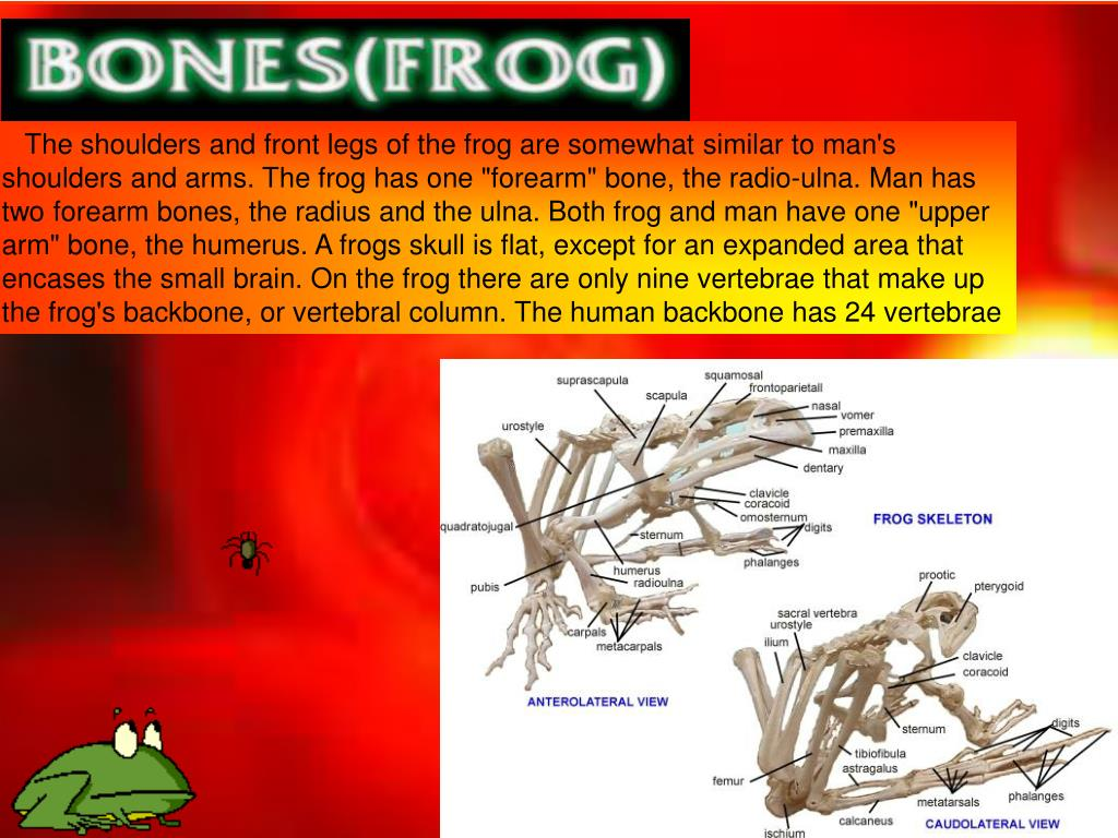 """The shoulders and front legs of the frog are somewhat similar to man's shoulders and arms. The frog has one """"forearm"""" bone, the radio-ulna. Man has two forearm bones, the radius and the ulna. Both frog and man have one """"upper arm"""" bone, the humerus. A frogs skull is flat, except for an expanded area that encases the small brain. On the frog there are only nine vertebrae that make up the frog's backbone, or vertebral column. The human backbone has 24 vertebrae"""