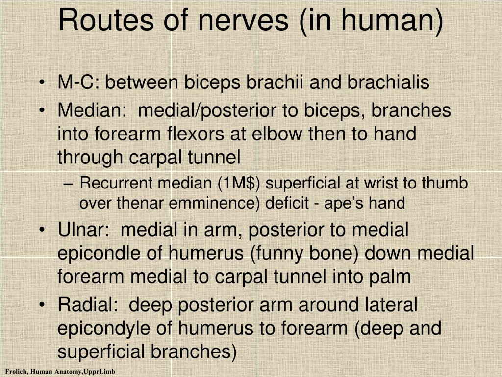 Routes of nerves (in human)